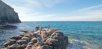 Посадка пеликана на утесе на этап Lobos - Punta Lobos около пляжа Cerritos в Нижней Калифорнии Мексике Стоковые Изображения