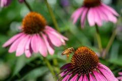 Посадка пчелы меда на цветке в саде Стоковое фото RF