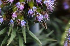Посадка пчелы на голубом и фиолетовом цветке Стоковая Фотография