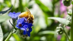 Посадка пчелы на голубом/фиолетовом цветке в ботаническом саде Стоковые Фото