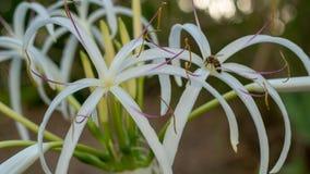 Посадка пчелы на красивом белом цветке Стоковое фото RF