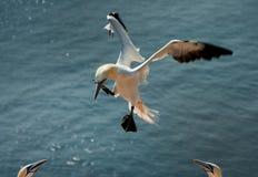 посадка gannet северная Стоковая Фотография RF
