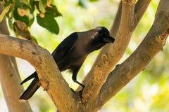 Посадочные места вороны на парке ветви дерева публично смотря внушительный на солнечном дне Стоковое фото RF