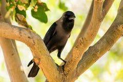 Посадочные места вороны на парке ветви дерева публично смотря внушительный на солнечном дне Стоковая Фотография