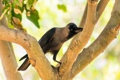 Посадочные места вороны на парке ветви дерева публично смотря внушительный на солнечном дне Стоковое Изображение RF