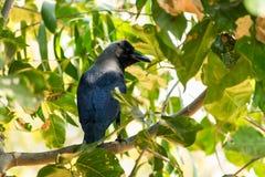 Посадочные места вороны на парке ветви дерева публично смотря внушительный на солнечном дне Стоковые Изображения