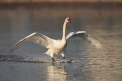 Посадка безгласного лебедя Стоковые Фото