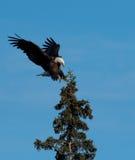 Посадка белоголового орлана в дереве Стоковые Изображения RF