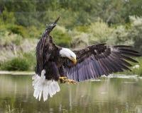 Посадка белоголового орлана на береге Стоковое Изображение RF