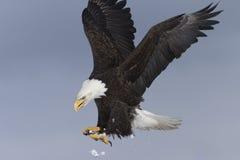 Посадка белоголового орлана, почтовый голубь Аляска Стоковое Фото