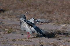 Посадка голубя балерины стоковое фото rf