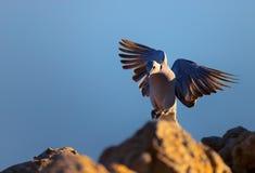 Посадка голубя черепахи плащи-накидк на waterhole Стоковые Изображения