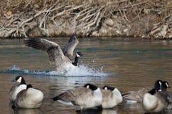 Посадка гусыни Канады в реке зимы Стоковое Фото