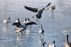 Посадка гусыни Канады на замороженном озере Стоковая Фотография RF
