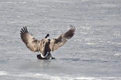 Посадка гусыни Канады на замороженном озере Стоковые Фото