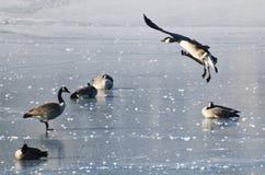Посадка гусыни Канады на замороженном озере Стоковое Фото