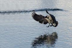 Посадка гусыни Канады на озере зим Стоковая Фотография RF