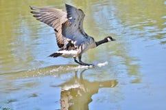 Посадка гусыни Канады на озере Стоковое Изображение RF