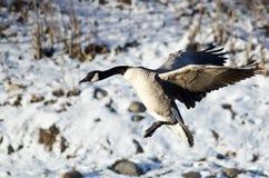 Посадка гусыни Канады на реке зимы Snowy Стоковая Фотография