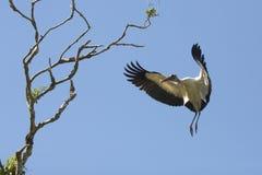 Посадка деревянного аиста в дереве в центральной Флориде Стоковые Фотографии RF