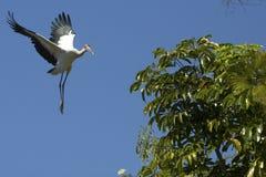 Посадка деревянного аиста в дереве в центральной Флориде Стоковое Изображение