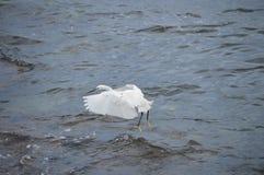 Посадка маленького egret или цапли Стоковые Изображения RF