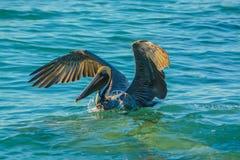 Посадка пеликана после рыбной ловли пикирования стоковая фотография rf