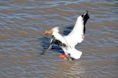 Посадка пеликана Стоковые Изображения RF