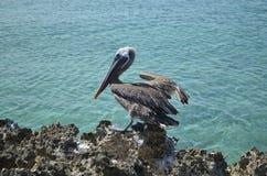 Посадка птицы пеликана на утесе лавы в Аруба Стоковые Изображения