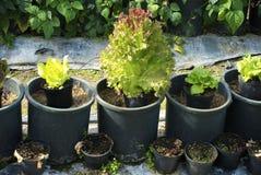 Посадка салата весны в участках и сладостных горохах Стоковая Фотография RF