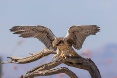 Посадка сокола прерии Стоковое фото RF