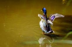 Посадка утки в парке в Бамберге Стоковое Изображение RF