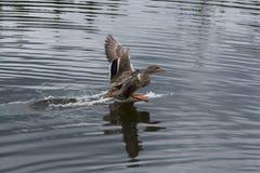 Посадка утки кряквы на воде Стоковое фото RF