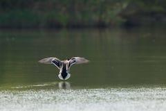 Посадка утки на поверхности воды стоковые изображения rf