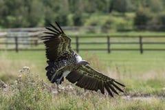 Посадка хищника Посадка хищника griffon Ruppells на обрабатываемой земле Стоковое Изображение RF