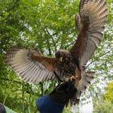 Посадка хоука на шпицрутене Falconry Стоковые Фото