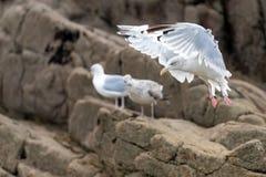 Посадка чайки Стоковые Изображения RF