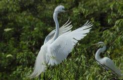 Посадка Egret с материалом в своем счете, Флоридой вложенности Стоковая Фотография