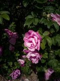 Посветите яркому и быть розовый стоковая фотография rf