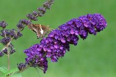 Посеребрите запятнанное clarus Epargyreus бабочки шкипера есть на бабочке Буше Стоковые Фотографии RF