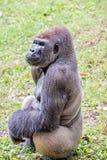 Посеребрите заднюю гориллу смотря бдительный и угрожающий против естественного Стоковое Фото