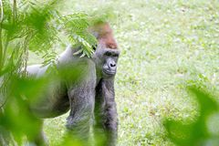 Посеребрите заднюю гориллу смотря бдительный и угрожающий против естественного Стоковое Изображение RF