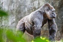 Посеребрите заднюю гориллу смотря бдительный и угрожающий против естественного Стоковые Фото