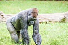 Посеребрите заднюю гориллу смотря бдительный и угрожающий против естественного Стоковые Изображения RF