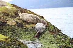 Посетите Ванкувер и см. милых морских львов младенца и прелестных уплотнений спать на пляже Стоковая Фотография RF