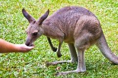 Wallaby, село Kurunda, Австралия Стоковые Фотографии RF