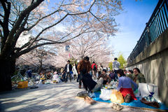 Посетители наслаждаются их пикником под деревьями Сакуры стоковые фото