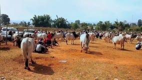 Посетите скотин справедливо с коровами зебу и буйволами, Heho, Мьянмой акции видеоматериалы
