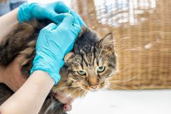 Посещение клиники ветеринара кота стоковая фотография