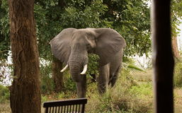 посещение слона стоковое изображение